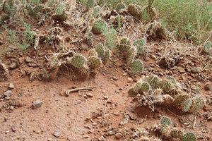 viele Kakteen auf einem kargen Wüstenboden